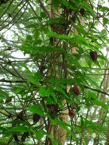 ミヤマハンショウヅル